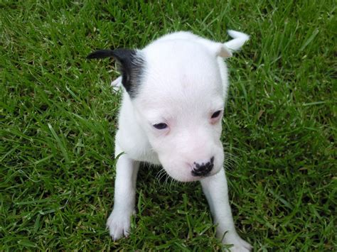 puppy bull terrier staffy x bull terrier puppies stockton on tees county durham pets4homes