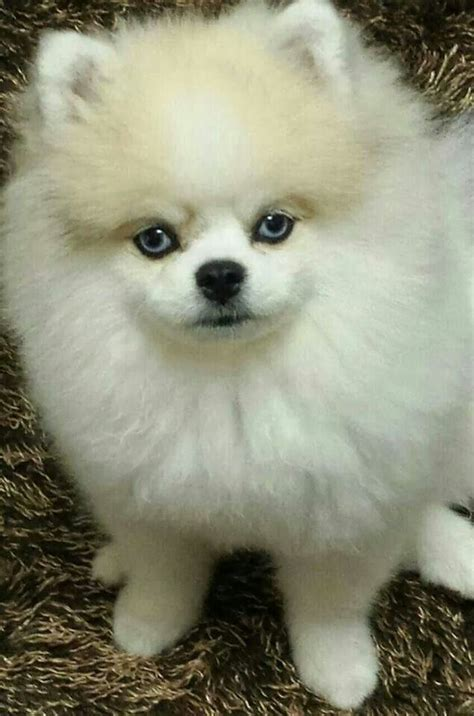 white pomeranian blue what a my pet addiction and i don t need rehab