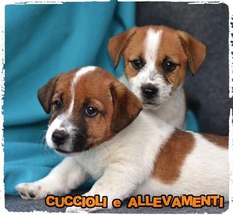russel alimentazione cuccioli terrier cuccioli e allevamenti foto 203 275752