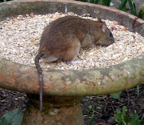 Ratte Im Garten Meldepflicht Carprola For