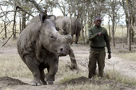 imagenes rinoceronte blanco el rinoceronte blanco del norte al borde de la extinci 243 n