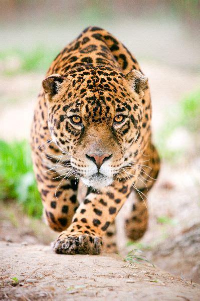 imagenes del jaguar animal tr 225 fico de pieles y dientes amenaza al jaguar vida