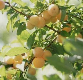 fruit tree care taking care of your home fruit trees
