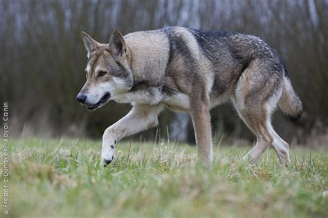 saarloos wolfdog puppies saarloos wolfdog history personality appearance health and pictures