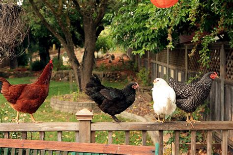 Raising Chickens In New York City Laws Tips And Chickens In Your Backyard