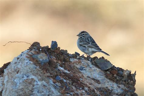 Cumberland County Pa Records Lark Sparrow Cumberland County Pa By Alex Lamoreaux Nemesis Bird