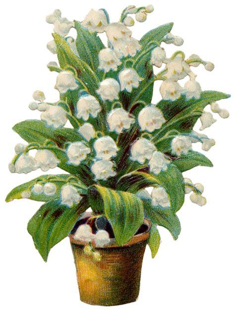 Muguet Fleurs Images by Images D Autrefois Image Ancienne Fleur Muguet Grande