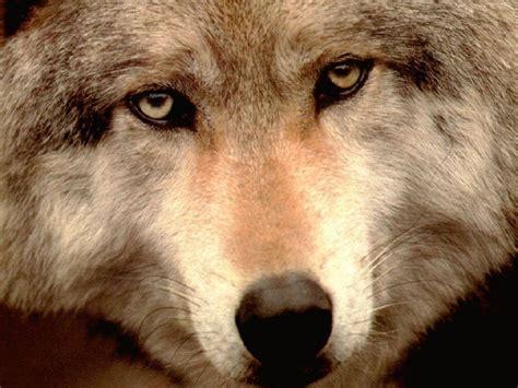imagenes de lobos tristes animali