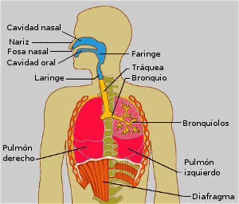 anatomia del sistema respiratorio faringe escuelapedia recursos educativos