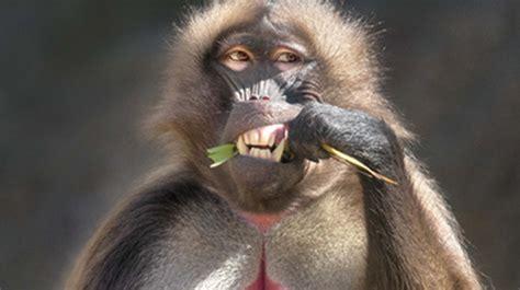 gelada san diego zoo animals plants