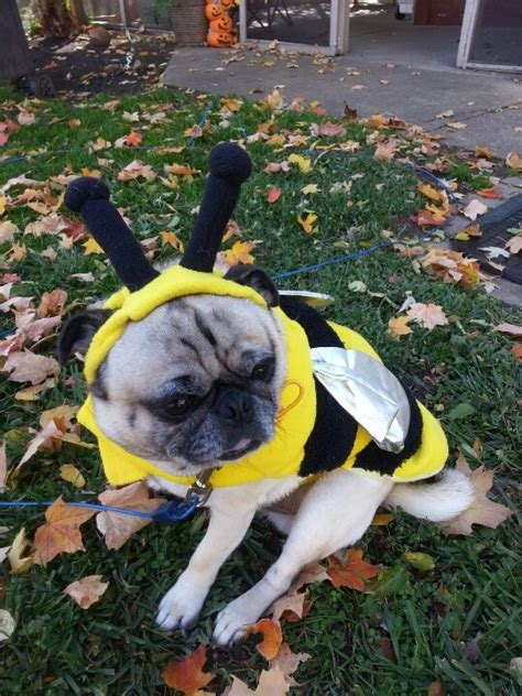 pug in pug costume 17 best images about pug costume on costumes pug and pug quotes