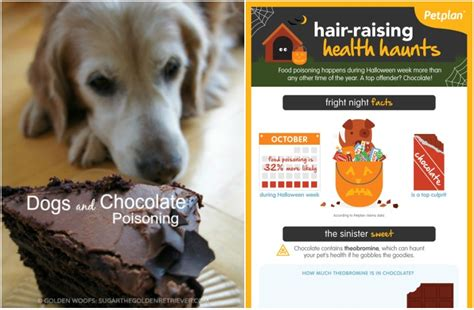 signs of chocolate poisoning in dogs signs of chocolate poisoning in dogs thin