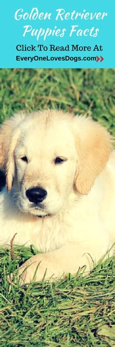 golden retriever attack statistics golden retriever puppies facts