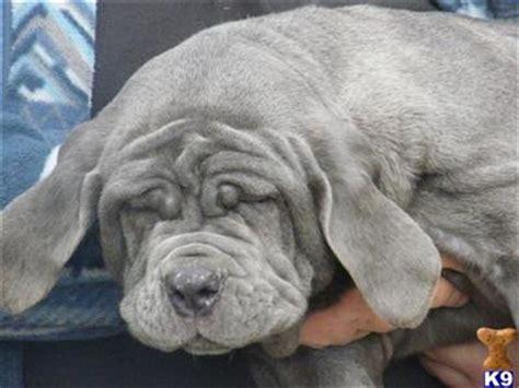 neapolitan mastiff puppies price neapolitan mastiff puppies 6743