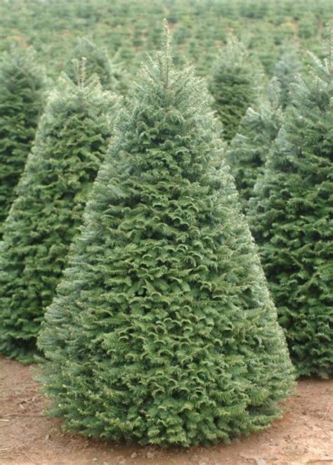 28 best douglas fir christmas trees for sale prelit