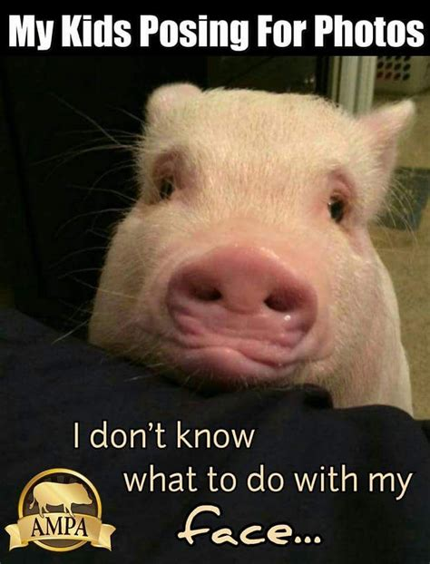Pig Meme - 74 best mini pig memes images on pinterest miniature