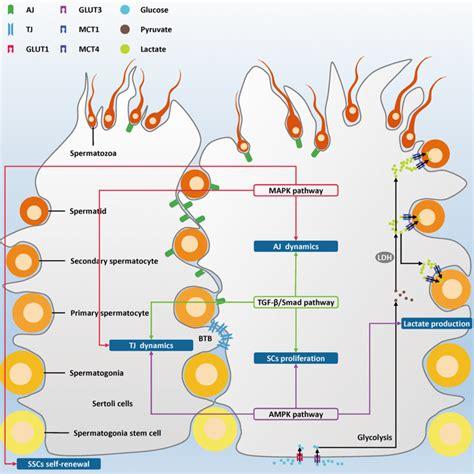 multiple signaling pathways  sertoli cells