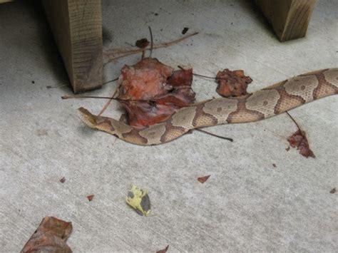 copperhead bite copperhead snake identification walter reeves the gardener
