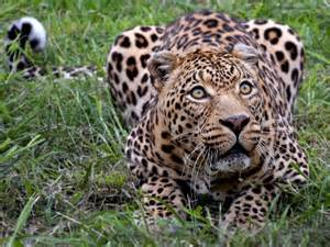 How Many Babies Does A Jaguar Encyclopaedia Of Babies Of Beautiful Animals