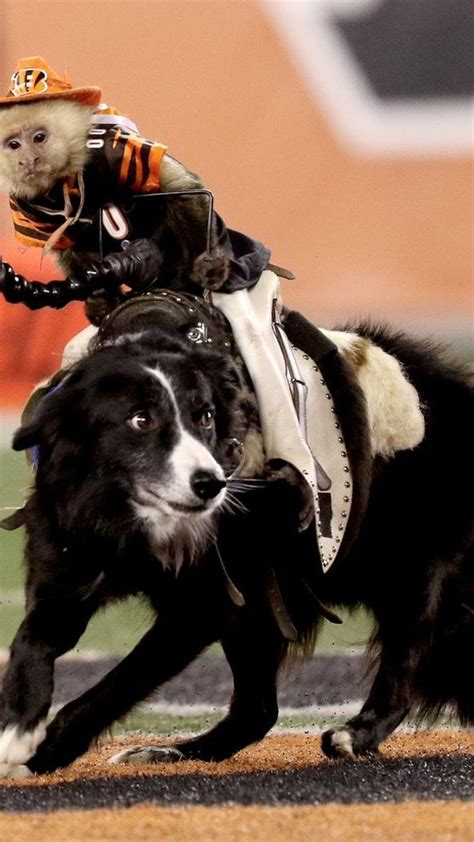 monkeys dogs monkeys ride dogs herding sheep at bengals halftime