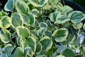Variegated Foliage Plants - variegated foliage dirt simple