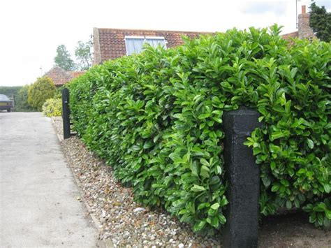 fast growing privacy hedges bing images