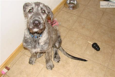 wolfhound puppies for sale price wolfhound puppy for sale near peninsula michigan 8338dafe 2c61