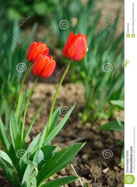 red tulips in soil stock images image 24644124