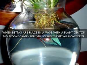 betta fish by hailey howard