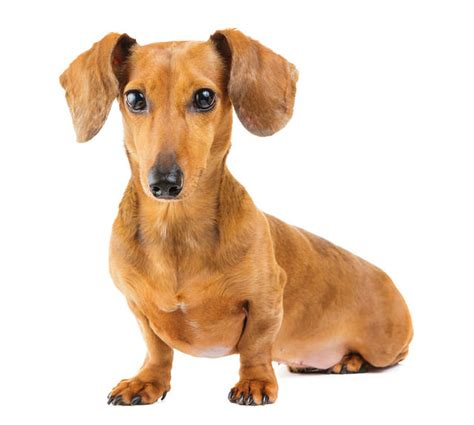 best big dogs for apartments best breeds for apartments show