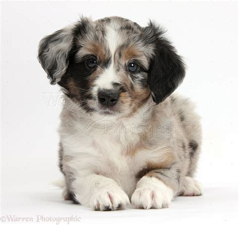 mini american shepherd puppies miniature american shepherd puppies wp38451 merle miniature american shepherd puppy