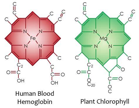 chlorophyll diagram wholedude wholedesigner blood cell bhavanajagat