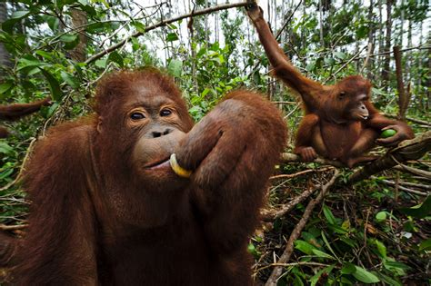 endangered orangutans gain  eco friendly shifts