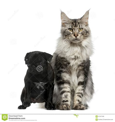 pug puppies maine maine coon and pug puppy stock photo image 61347436