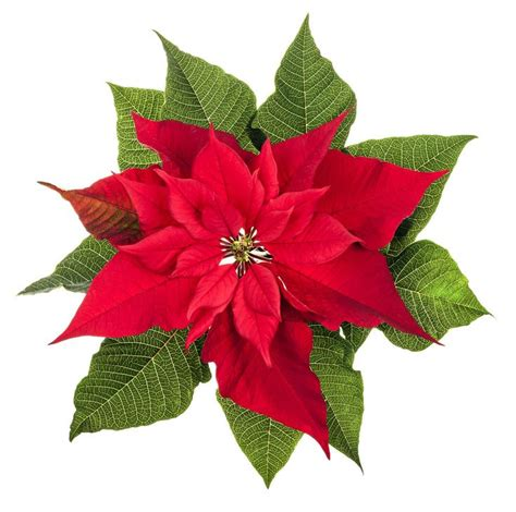 wedding flowers poinsettia birthday month december colors red white pink maroon salmon