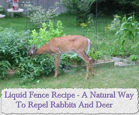 rabbit repellent for vegetable gardens liquid fence recipe a way to repel rabbits and