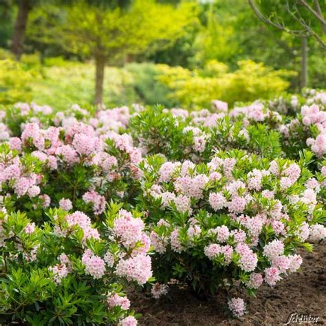 Stauden Kaufen 248 by Rhododendron Nugget By Bloombux 174 Der Bl 252 Hende