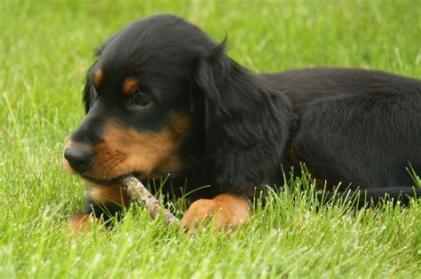 gordon settee gordon setter puppy with a stick photo and wallpaper