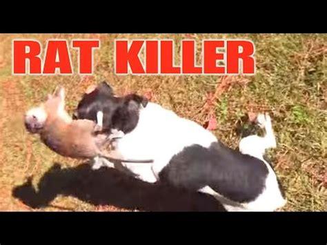 mini mouse chase mini  rat terrier kills  rat youtube