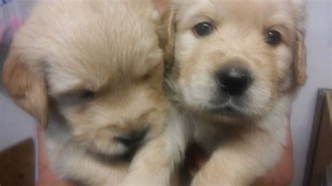 golden retriever for sale in golden retriever puppies for sale carlisle cumbria pets4homes