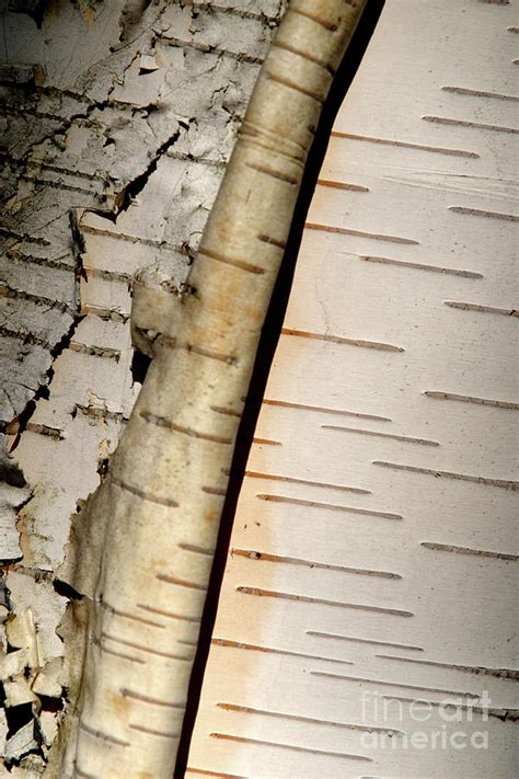 How To Make Birch Bark Paper - white paper birch tree bark by alan look