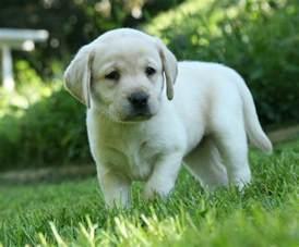 Lab Puppies Yellow Labrador Retriever Puppies For Sale Breeders