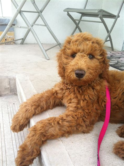 goldendoodle puppy cut goldendoodle haircut pictures newhairstylesformen2014