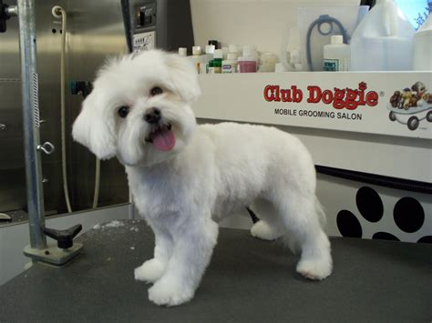 maltipoo puppy cut club doggie mobile grooming salon before and after photo gallery
