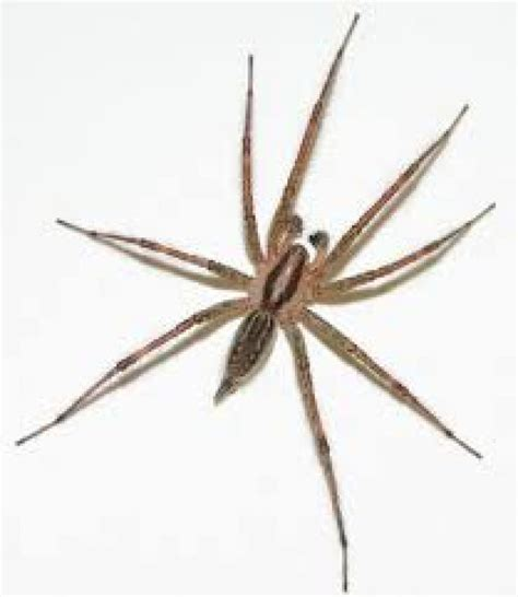 bed spiders illinois man wakes to find spider in bed flees house