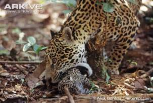 Jaguar Threats Jaguar Photo Panthera Onca G16811 Arkive