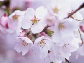 imagenes de sakura japon japanese cherry blossom wallpapers wallpapersafari