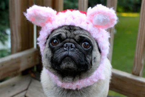 adorable pug pictures pug hats 1funny