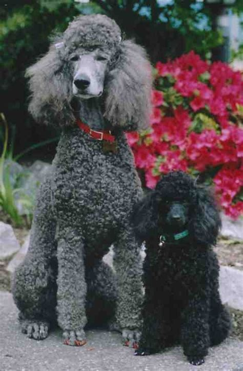 average poodle lifespan average size of standard poodle dogs in our photo