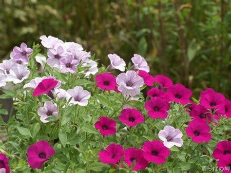 piante da giardino fiorite piante fiorite piante da giardino